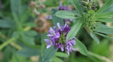 Ny bælgplante-receptor fundet