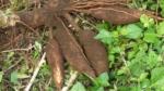 Gensaks skal forandre maniok-planten