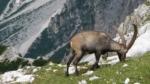 Bjerggeder på jagt efter urin