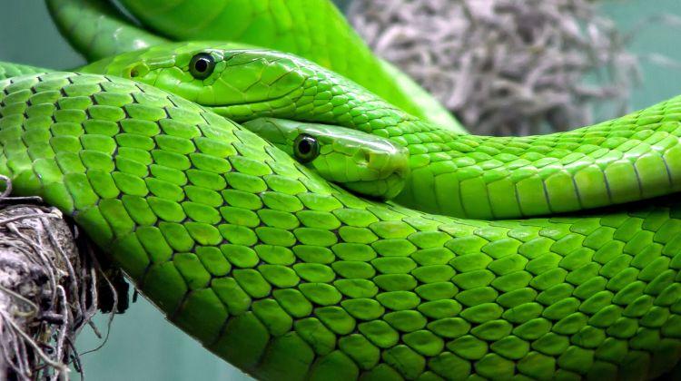 groen-mamba