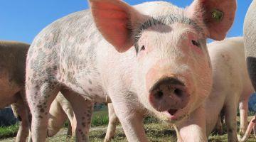Nu strammes der op for brugen af antibiotikum