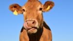 Sundere rødt kød via dyrefoderet