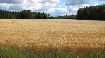 Kornsorter kan kommunikere sig til bedre udbytte